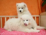 重庆出售 萨摩耶幼犬狗狗出售 包纯种 包健康