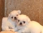 【青岛本地】大鼻筋北京犬京巴-健康犬基地