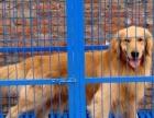出售金毛导盲犬忠诚金毛幼犬 聪明伶俐 包纯种健康