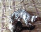 美短虎斑猫出售,健康好动的小美短
