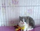 英短蓝白小母毛微长1499 猫咪价格以标题价格为准
