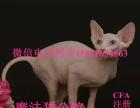 加拿大无毛猫宠物猫纯种无毛猫幼猫幼崽活体公母都有