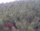 黑松树7000棵出售