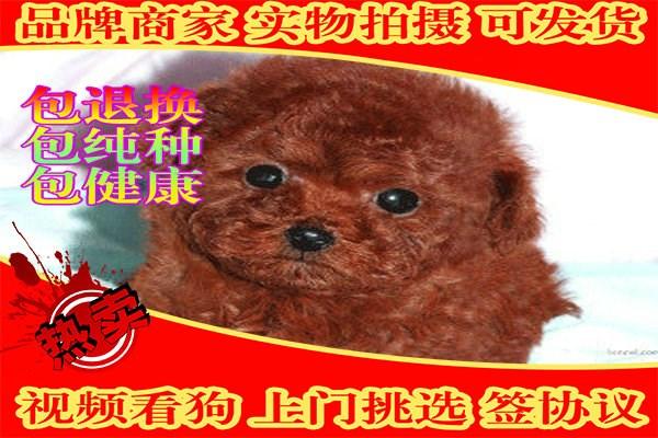 **泰迪熊 毛色 体型多样供挑选