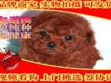极品泰迪熊 毛色 体型多样供挑选