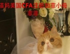 美国CFA注册加菲猫超冠军直子春节特价6000元