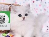 烟台哪里有宠物猫出售,烟台哪里有卖纯种金吉拉价格