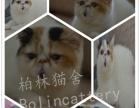 CFA高品质异短加菲猫宝宝 颜色齐全 多只可选