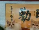 精品加菲母猫特价