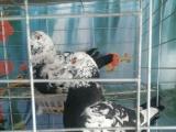 常年出售元宝种鸽