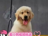 出售金毛巡回犬导盲犬 忠诚可爱的金毛犬 可上门