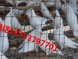 元宝鸽种鸽价格 元宝鸽养殖场 鸽子养殖场