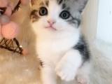 美短猫纯种猫咪活体宠物猫美短加白起司猫虎斑短腿猫