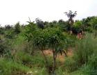 华坪县果子山万亩芒果基地内80亩芒果地及四合院出售