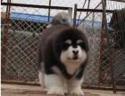 兰州纯种阿拉斯加价格 兰州哪里能买到纯种阿拉斯加犬
