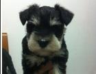 重庆哪里有卖纯种健康的雪纳瑞幼犬 重庆雪纳瑞多少钱一只 好养