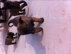 出售马犬 德国牧羊犬 杜高犬 卡斯罗犬