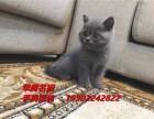 广州哪里有卖大包子脸蓝猫小猫咪价格多少钱纯种蓝猫小猫价钱