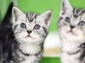 加菲英短蓝猫蓝白银渐层美短