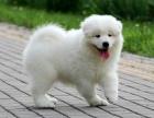 cku注册五星级犬舍 双血统萨摩耶可上门挑选