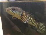 自己养的眼镜蛇雷龙,缸里其他鱼太多了,养不了这条了
