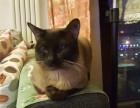 免费赠送2岁暹罗公猫