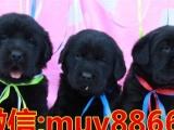 纯种拉布拉多犬 品质保证 品相好头版好 家庭伴侣