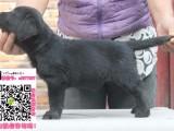 泉州拉布拉养狗场联系电话 泉州拉布拉多巡回犬/导盲犬幼犬出售