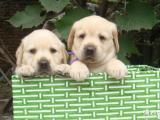 狗场直销拉布拉多包纯种,包健康.包养活,可签保障协