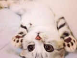 河源矮脚猫舍 专注繁育甜美系短腿猫
