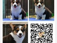 重庆犬舍出售纯种柯基犬 自产自销 签协议 面对面交易