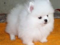 泉州最大狗场 特价直销世界名犬 博美犬等品种三百起