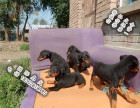 家养纯种杜宾犬便宜出售了 喜欢的可以加我详聊