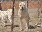 五个月的杜高犬低价出售 杜高犬野猪的克星