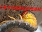 专业提供蜈蚣种苗