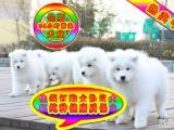 纯种萨摩幼犬 专业繁殖 包纯种签合同保健康