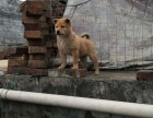 三个月土猎犬优惠出售价格专业售后服务 全国出售