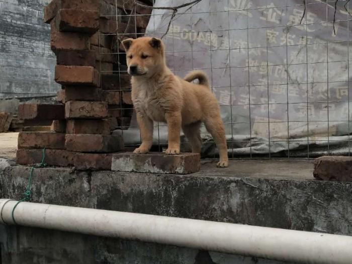 三个月土猎犬优惠出售价格天资聪颖 记忆力特佳