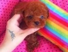 纯种可爱泰迪犬包健康包纯种出可签协议有保障包三月