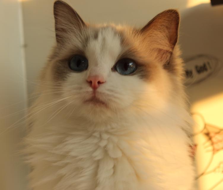 芜湖本地布偶猫 CFA血统 纯种猫 活体 海豹双色