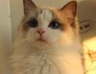 延边本地布偶猫 CFA血统 纯种猫 活体 海豹双色