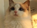 保亭本地布偶貓 CFA血統 純種貓 活體 海豹雙色