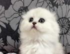 适合家养——乖巧的金吉拉猫----送猫砂
