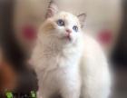 纯种布偶猫活体 蓝双海豹色布偶猫幼猫宠物猫可视频