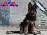 德国牧羊犬黑背多少钱一只/在哪里能买到