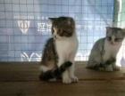 自家繁殖宠物猫.英国短毛.折耳