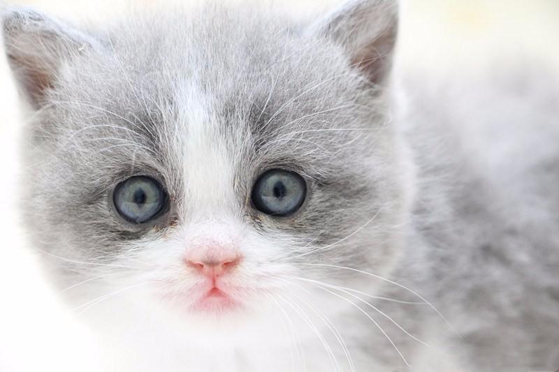 直接淘宝交易 家养布偶蓝猫加菲猫可送货上门 带有检疫证明