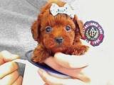 便宜转让个人泰迪幼犬,健康纯种包三个月退换