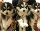 赛级哈士奇幼犬 保品质纯正健康 特价出售 签订合同