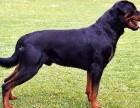 深圳常年出售高品宠物犬幼犬,保健康签协议,品种齐全